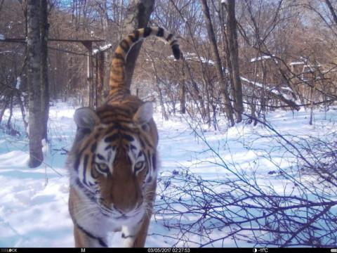 Огромный тигр напугал людей и злую собаку в Приморье