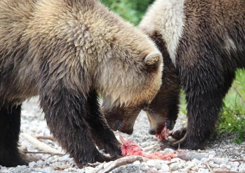 Голодный медведь напал на рыбака