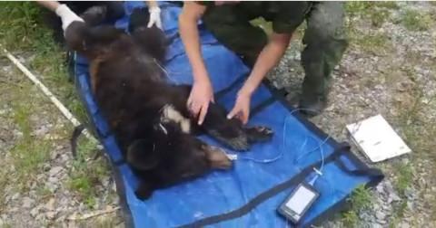 """Истощённый медвежонок """"сдался"""" приморским пограничникам"""