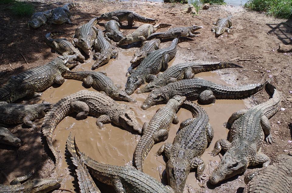 Сбежавший из тюрьмы врач скормил крокодилам до 100 ограбленных таксистов