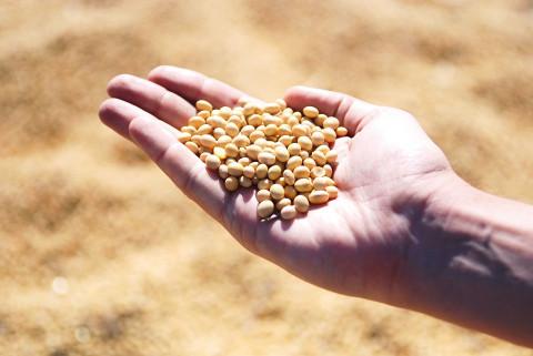 В Приморье в четыре раза увеличился урожай сои