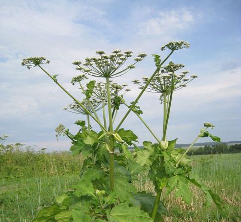 Переборщили: в Ленобласти осужденных отправили косить опаснейшее растение