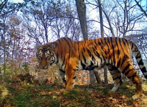 Встреча тигра с человеком произошла на юге Приморья