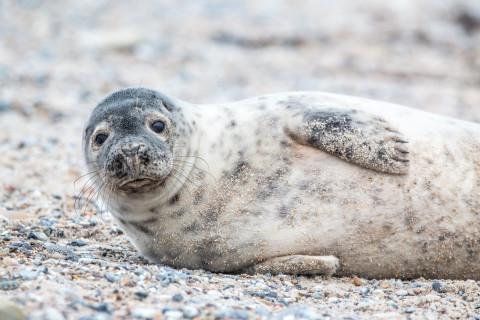 «Это шок»: массовая гибель тюленей произошла в Каспийском море