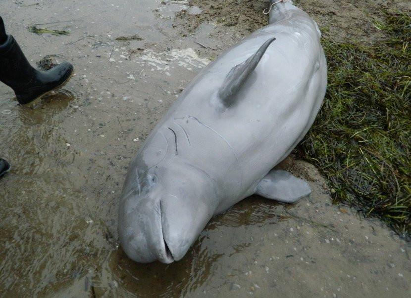 Спасённый во Владивостоке дельфин погиб