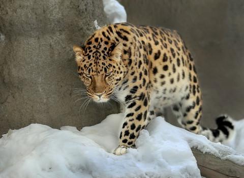 """Примавтодор наследил на """"Земле леопарда"""""""