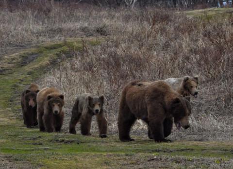 Жителей Камчатки предупредили о нашествии медведей