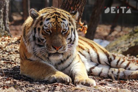 Тигр разгуливает по дорогам Приморья