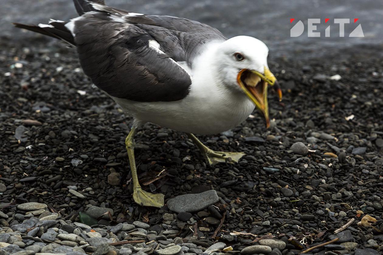 «Зачем вы мучаете её?»: за пойманную чайку заступились в приморском городе