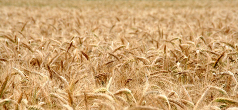 Кто наживается на вывозе хлеба из России