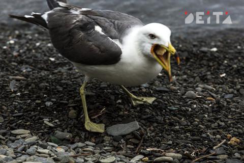 """""""Небо стонет от крика чаек"""": истребление птиц продолжается во Владивостоке"""