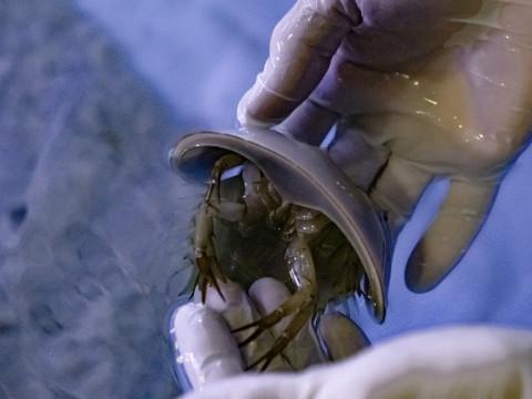 Существа голубых кровей освоились во Владивостоке