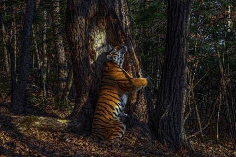Тигрица «Земли леопарда» принесла Приморью победу в международном фотоконкурсе