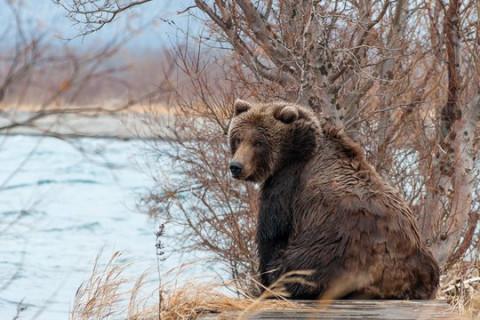 Медведь караулит школьников на Дальнем Востоке