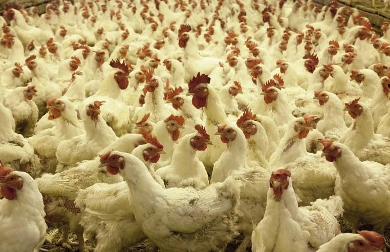 До 6,3 тысяч тонн мяса птицы планируют производить в Приморье