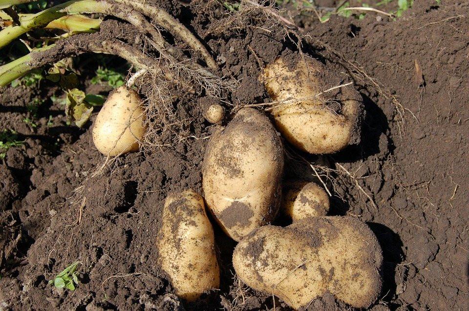 Цены на картофель должны стабилизироваться к 20 июля