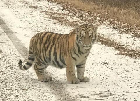 Тигрята вышли к людям в Приморье