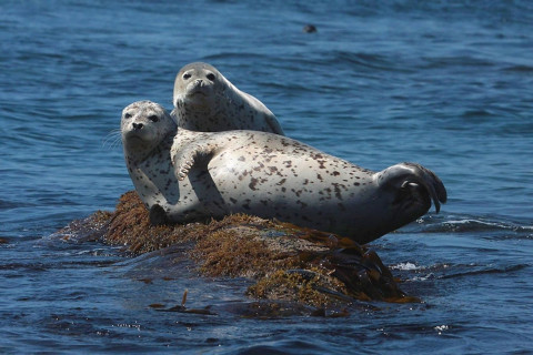 Угольной пылью может засыпать самое массовое лежбище тюленей