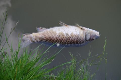 Массовая гибель рыбы зафиксирована в Приморье