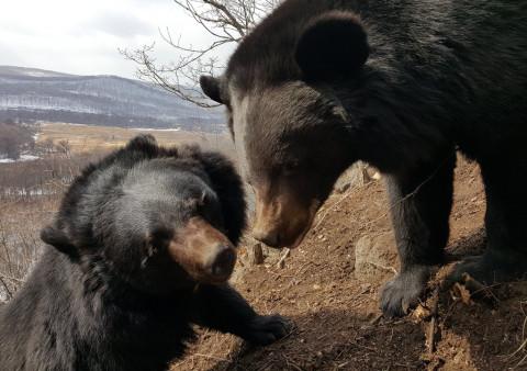 Толпы голодных медведей ждут подхода горбуши, пугая браконьеров