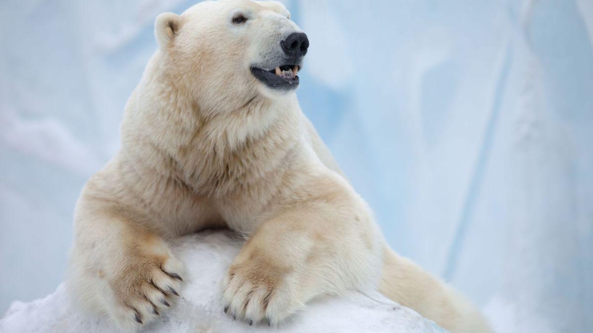 Банда белых медведей в Якутии решила ограбить КАМАЗ