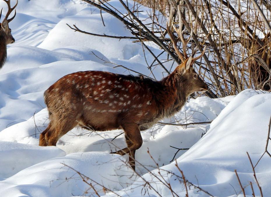При попытке вернуть оленя в лес приморец едва не пострадал