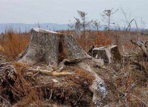 Приморца оштрафовали на 6 млн за срубленные деревья