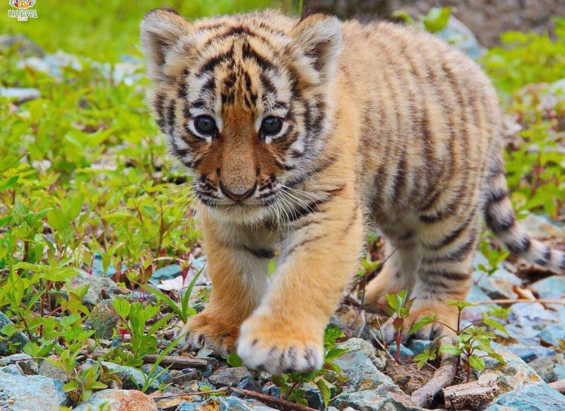Тигрята открыли купальный сезон в нацпарке Приморья