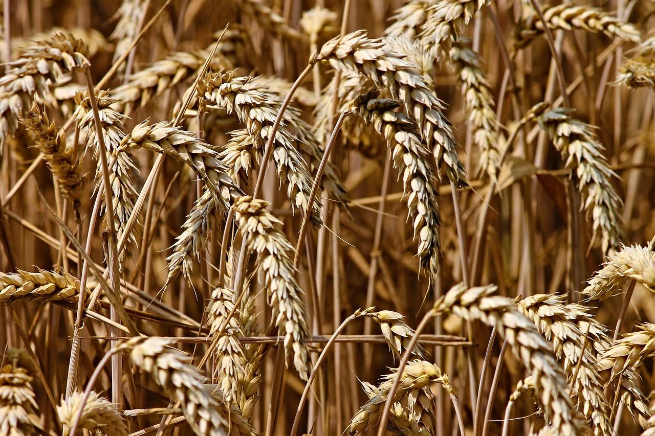 Российская пшеница вызвала тревогу на западе