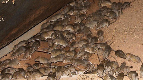 Нашествие мышей оставило фермеров без урожая
