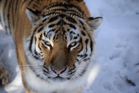 Пожилой тигр безобразничал в Приморье