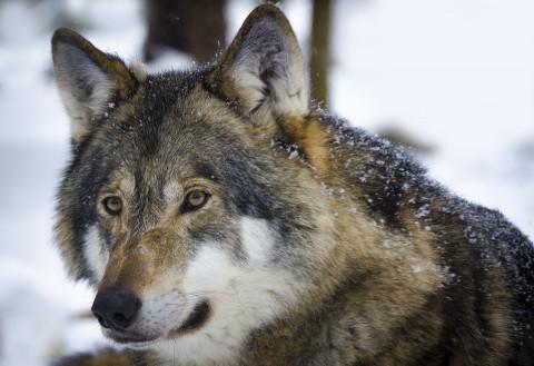 «Домашний» волк напал на ребенка