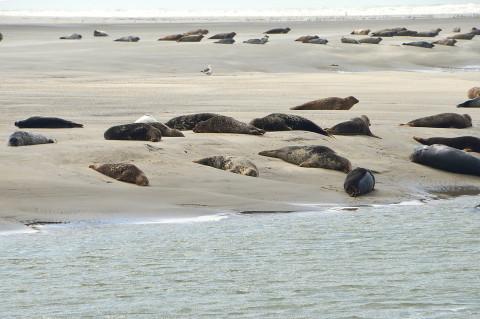 Нашествие тюленей отмечают жители канадской деревни
