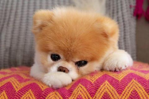 """Скончалась """"самая милая собака в мире"""""""