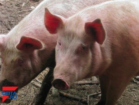 Власти попытаются сдержать рост цен на свинину