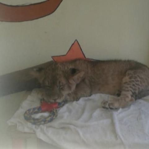 Инертный львенок в контактном зоопарке тревожит горожан