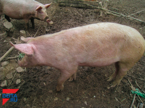 Фермер кормил свиней трупами сородичей