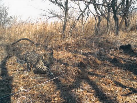 Котёнка леопарда спасли от пожара в Приморье