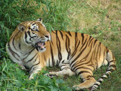 Тигрица впервые заразилась коронавирусом