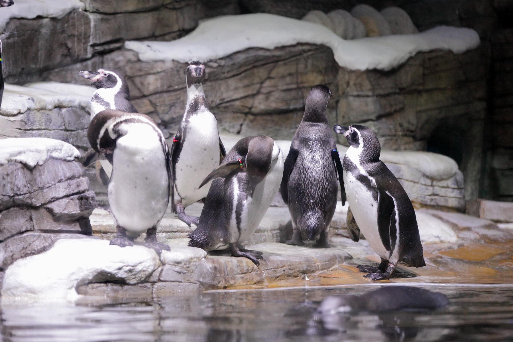 Мэр Магадана рассказал, как нужно было «отбивать» яйца и пингвинов у горожан