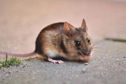 Это всё грызуны: пропажу 2700 вагонов зерна из Госрезерва списали на мышей