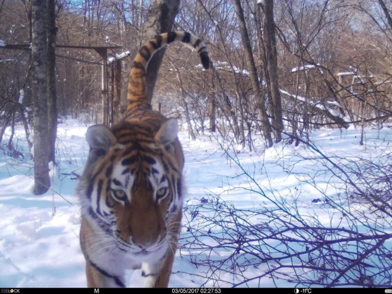 Специалисты рассказали, что делать, если встретил тигра