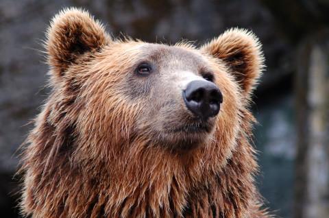 Камчатка задрала цены за охоту на медведей
