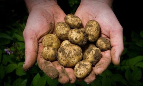 Размер имеет значение: картофель для нищих ждут на прилавках магазинов