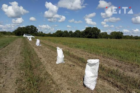 Аграриям Приморья удалось значительно увеличить урожайность картофеля