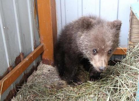 Власти Уссурийска рассказали о судьбе тонувших медведей