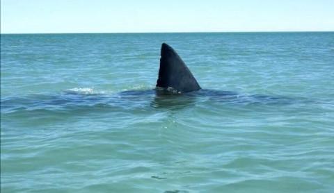 Белая акула у берегов Сахалина напугала рыбаков