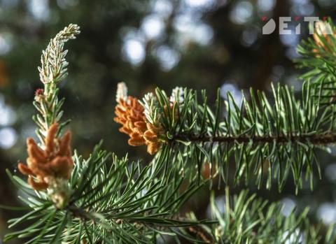 Хвойный лес появится у ледовой арены «Олимп» в Уссурийске