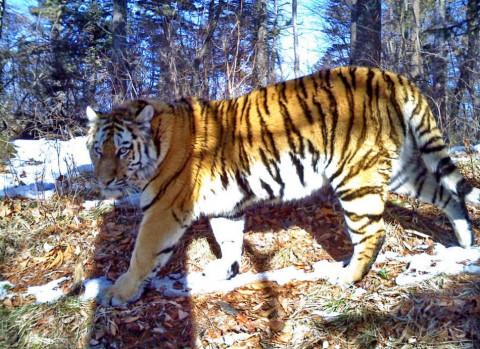 Тигра заметили в окрестностях города жители Владивостока