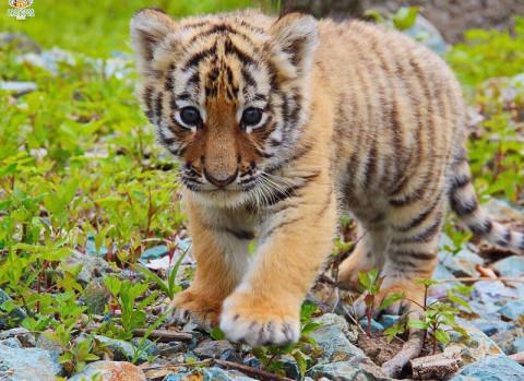 Убийцу амурского тигра ищут в Приамурье